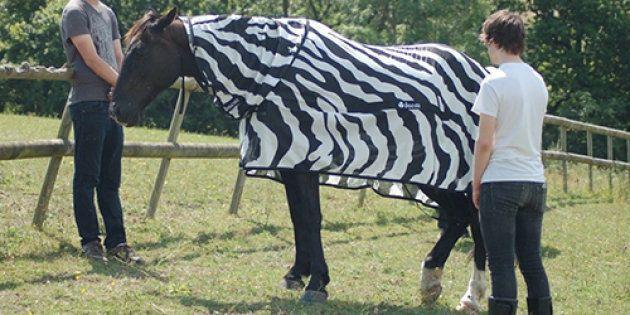 Des chevaux déguisés en zèbres pour une expérience
