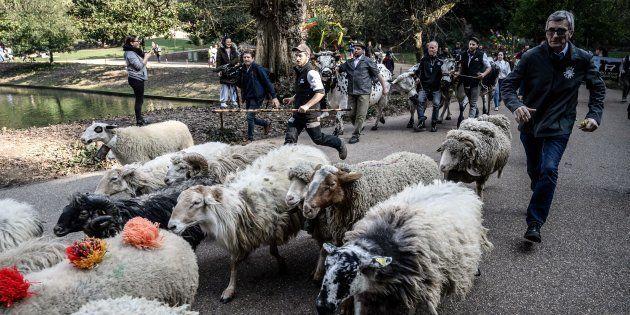 Des moutons dans le parc des Buttes-Chaumont à Paris le 22 février 2019 dans le cadre d'une collecte...