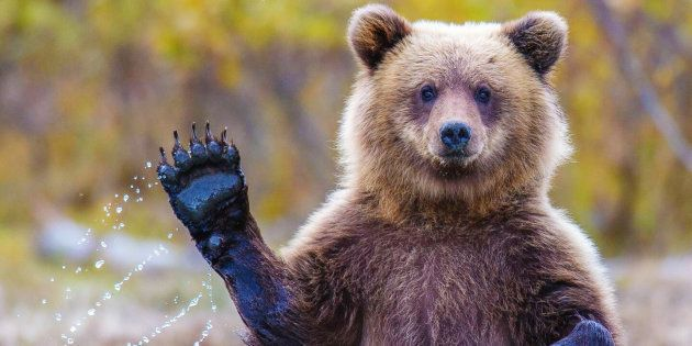 Un Ours Brun dans la