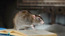 BLOG - Oui, les rats aussi ont le droit de