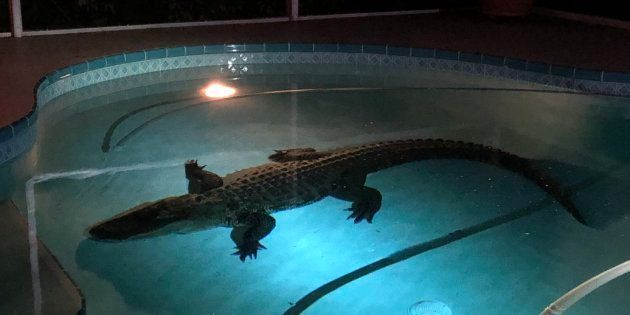 Un alligator de plus de 3 mètres est venu faire trempette dans la piscine de cette