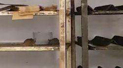 Il filme des rats grouillant dans le rayon boulangerie d'un Carrefour près de