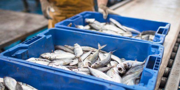 Plus le poisson est cher, plus il est mal étiqueté, d'après Oceana.