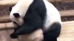 Les images du bébé panda de Beauval, sommé par sa mère de prendre son