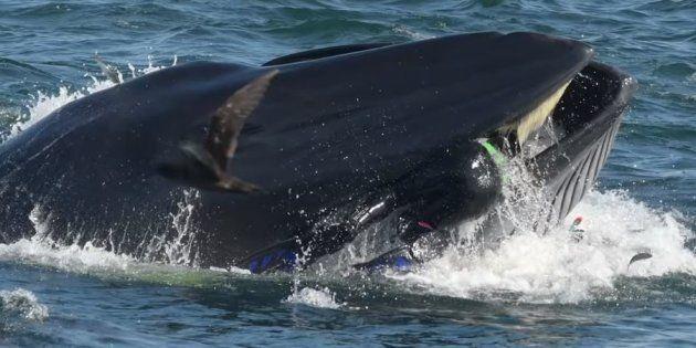 Le plongeur Rainer Schimpf a été avalé puis recraché par une baleine en Afrique du Sud, en février