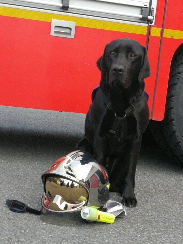 Ce labrador a été embauché pour aider des victimes à témoigner au