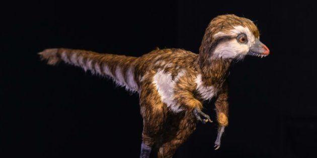 Un tyrannosaure âgé de quelques semaines, modélisé par le Muséum d'Histoire Naturelle de