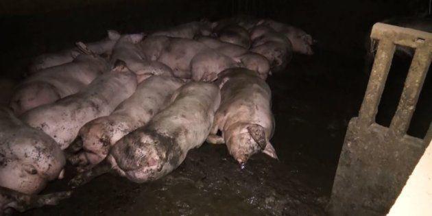 L214 épingle un élevage de porcs du Tarn dans une nouvelle vidéo accablante