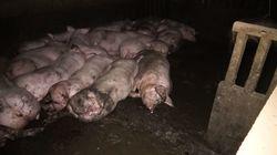 L214 épingle un élevage de porcs du Tarn dans une nouvelle vidéo