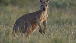 La sordide mise en scène d'un cadavre de kangourou au bord d'une route scandalise