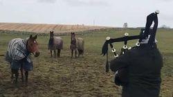 Ces chevaux sont mélomanes et