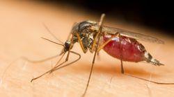 Les moustiques génétiquement modifiés,