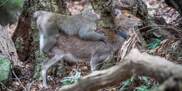 Dans une étude publiée dans Primates, des chercheurs français font état d'une étonnante