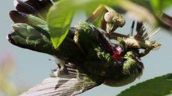 Les mantes religieuses mangent des cerveaux d'oiseaux et c'est plus préoccupant qu'on ne le