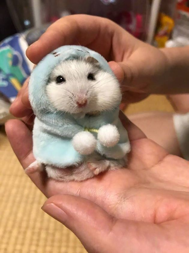 La photo de cet adorable hamster emmitouflé vaut le