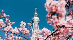 東京都内で桜が開花!都内で花の名所、いまの桜の状況は?