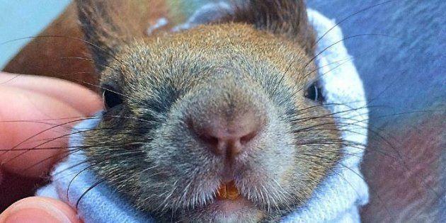 Gin l'écureuil a les oreilles bien dressées au-dessus de sa tête et récompense sa mère d'adoption avec moult caresses.
