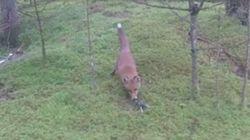 Il a voulu jouer au plus malin avec ce renard, c'est