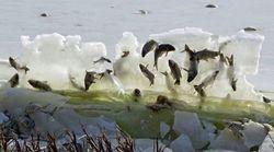 Ces poissons gelés ne sont pas morts de la façon que l'on