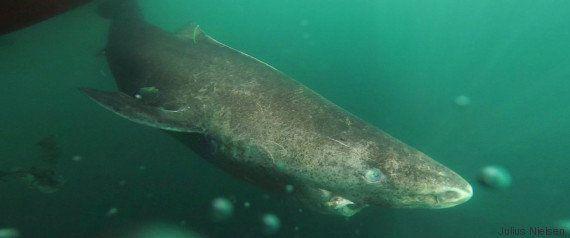 Le requin du Groenland est l'animal vertébré le plus vieux du