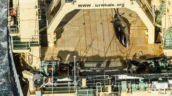 Une ONG prend sur le fait un baleinier japonais en