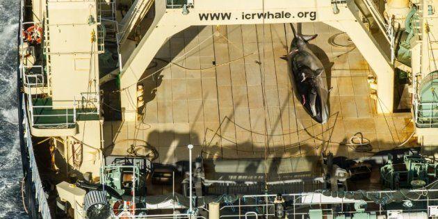 L'association SeaSheperd prend sur le fait un baleinier japonais en