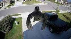 Les battements d'ailes de cet oiseau offrent une illusion d'optique