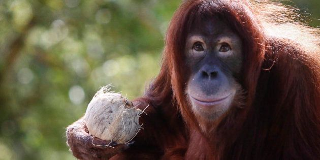 Tsunami, an eleven year old female Sumatran Orangutan eats fruit during her birthday celebration at the...