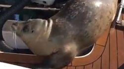 Ce phoque saute sur un bateau de plaisance pour échapper à des