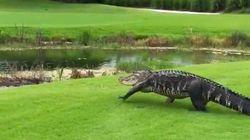 Tranquillou, un crocodile se balade dans un club de golf de