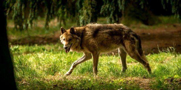 Un loup abattu dans la Drôme après l'attaque d'un troupeau de