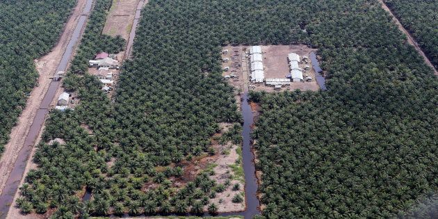 Une plantation d'huile de palme en