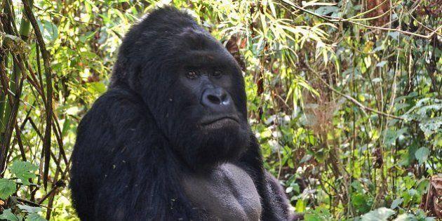 Le plus grand gorille du monde classé