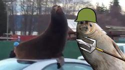 Ce lion de mer a confondu une voiture avec son