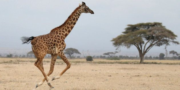 A giraffe runs in Amboseli National park, Kenya August 26, 2016. REUTERS/Goran