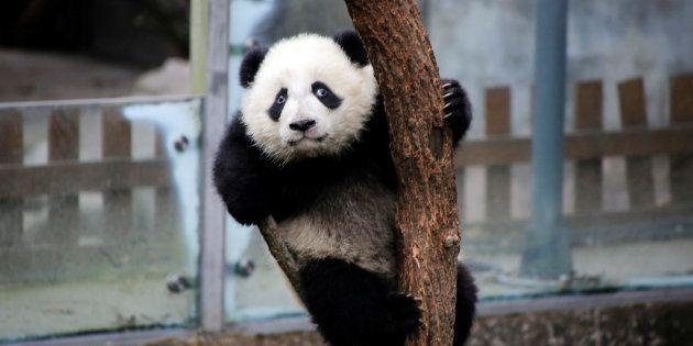 Zoo de Beauval: Le prénom du bébé panda choisi par Brigitte Macron et la première dame chinoise, ce n'est...
