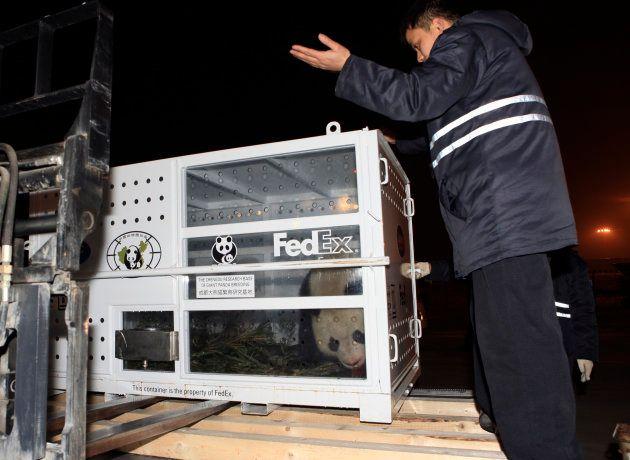 Le panda Géant Yuan Zi à l'aéroport de Chengdu prêt à être envoyé en France le 15 janvier