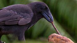 Les corbeaux hawaïens savent utiliser des outils pour