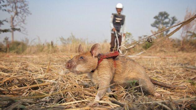 화약 냄새를 맡도록 훈련받은 아프리카산 주머니쥐가 매설 지뢰를 찾고