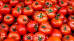 Redonner du goût aux tomates industrielles, c'est le pari de ces