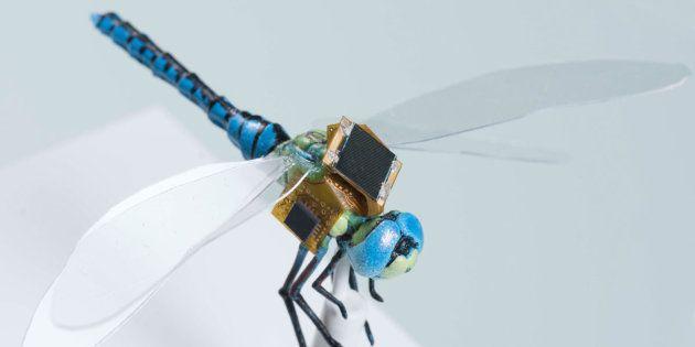 Le projet DragonflEye prévoit de faire voler des libellules modifiées cette