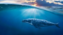 Pour gérer nos incertitudes, inspirons-nous des baleines et des