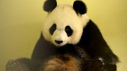 Pourquoi se réjouit-on de la naissance de pandas en captivité alors qu'on y interdit la reproduction des