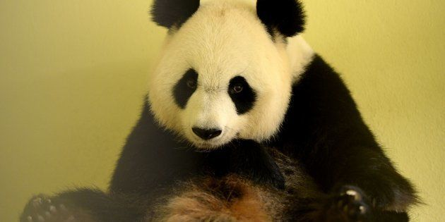 Huan Huan au zoo de Beauval, le 26