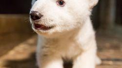 Six ans après la mort de Knut, voici Fritz, le nouvel ours polaire du zoo de