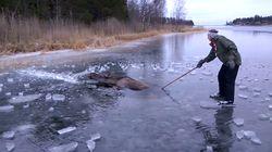 Cet élan piégé dans la glace a eu de la chance de tomber sur ces