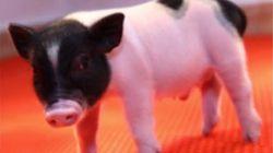 Des porcs OGM bientôt donneurs d'organes