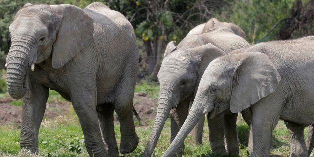 Un chasseur d'éléphant tué par un