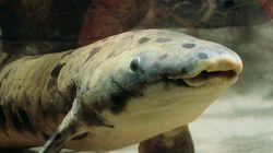 Granddad, le plus vieux poisson du monde en captivité, est