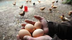 Comment les œufs de poules élevées en cage disparaissent de nos